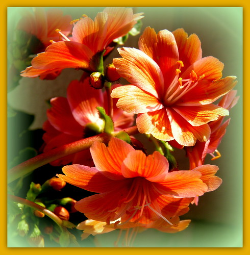 Lewisia for you / Feliz Quinta Flower ! Happy Year 2013 !