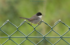 Sardinian warbler on the fence