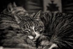 Two Sleepy Kitties (Light Echoes) Tags: pet animal cat lucy nikon kat feline gate chat gato katze  gatto kot gat pudge  moggy  d90  kalo