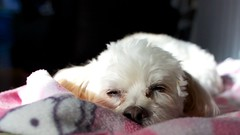 Good Morning Penelope (schap329) Tags: dog cute penelope hellokitty penny maltese ペネロペ マルチーズ犬