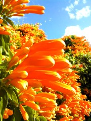 Warm Winter (barfightbob) Tags: winter orange orlando warm flamevine unseasonablywarm
