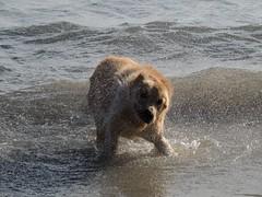 Thor esce dal mare (imput d'arte) Tags: dog animals cane nikon flickr mare ritratto animali imputdarte
