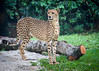 Cheetah (Jon Durman) Tags: animals zoo nikon wildlife april cheetah spotted bigcats 2012 singaporezoo nikond700 nikon28300mm