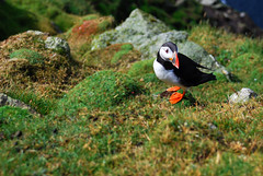 Fratercula Artica (Wrinzo) Tags: uk cliff nature birds scotland europa europe natura cliffs uccelli hoy puffin shetland seabirds scogliere scogliera scozia pulcinelladimare shetlandislands hermaness fraterculaartica uccellimarini isoleshetland