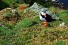 Fratercula Artica (Wrinzo) Tags: uk cliff nature birds scotland europa europe natura cliffs uccelli hoy puffin shetland seabirds scogliere scogliera scozia pulcinelladimare shetlandislands hermaness fraterculaartica uccellimarini isoleshetland