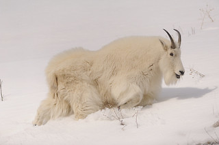 2013 Feb Mt Goat Alpine Wy