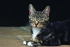 Kitty. (Owen Schooley) Tags: paws feline eyes whiskers kitty housecat housepet pet cat