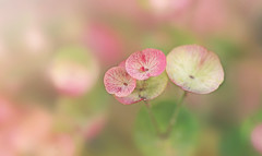 Confetti (charhedman) Tags: flowers confetti pink green macro bokeh