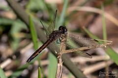 Dragon on a Stick (Lovely Lizards Photography) Tags: canon6d dragonfly extensiontubes insect lovelylizardsphotography macro photobyrogerreetz tokina100mmf28atxm100afprod
