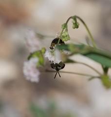 Fly Finale (harefoot1066) Tags: nyctaginaceae boerhavia spiderling boerhaviaerecta erectspiderling diptera aschiza syrphidae eristalinae volucellini copestylum coperstylummarginatugroup syrphidfly