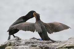IS7DII_23554 (Ian Slingsby) Tags: northumberland shag farneislands stapleisland