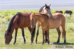 Affectionate Wild Mustangs (Mimi Ditchie) Tags: horse horses mustangs wildhorses easternsierra wild wildanimals animals affection affectionate wildmustangfamily getty gettyimages mimiditchie mimiditchiephotography