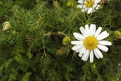 2016-08-19_10-40-06 (jonathon lynam) Tags: daisy flower biology green yellow white macro stilllife colour color nikon nikonphotography nikond40 blanc vert 1855mm