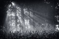 _MG_8742K (grzegorz_63) Tags: bw forest trees sunbeams sunrise light canon70d