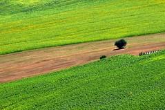 Nel giallo (luporosso) Tags: natura nature naturaleza naturalmente nikond300s nikon scorcio scorci country countryside girasoli sunflowers campagna campi