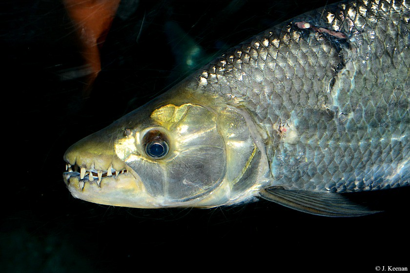 The World's Best Photos of tigerfish - Flickr Hive Mind