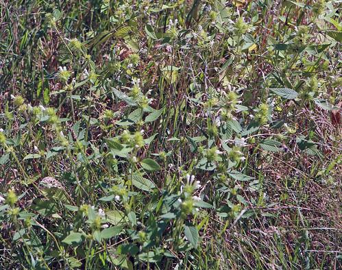 Witte dovenetel / White dead-nettle