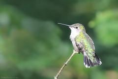 Ruby-throated Hummingbird (Mike Schanbacher) Tags: rubythroatedhummingbird hummingbird hummingbirds woodshole capecod bird birding birds ma usa