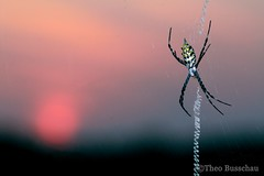 Garden Orb-web Spider (Argiopinae) (Theo Busschau) Tags: spider orbwebspider orbweb stabilimentum arachnid naturephotography nature ngc night southafrica sunset wildlife wildlifephotography wilderness macro macrophotography 100mmmacro closeup canon 70d