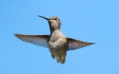 freeze! my feathery friend (Riex) Tags: inflight envol flying bill beak bec hummingbird colibri hummer coco wings ailes feathers plumes animal california fz1000 leicadcvarioelmarit electronicshutter 116000sec 116000 116000s