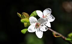 Spring Duo_0615_2_2 (Rikx) Tags: plumblossom plum blossom white green sun sunshine spring garden outdoor nopeople horizontal adelaide southaustralia whiteblossom fantasticflowers 3f