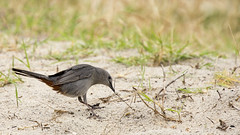 Lunch? (gimmeocean) Tags: assateagueislandnationalseashore assateagueisland assateague maryland md bird