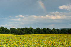 Field of Gold (bprice0715) Tags: canon canon5dmarkiii canoneos5dmarkiii landscape landscapephotography nature naturephotography sunflowerfield sunflowers sky clouds rainbow colorful colors yellow blue green theinnbetween camillusny outdoors vibrant