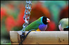 The Fun of Bird Watching - Bloedel Conservatory N18149e (Harris Hui (in search of light)) Tags: harrishui nikond300 nikonuser nikon d300 vancouver richmond bc canada vancouverdslrshooter sigma150mmf28macro queenelizabethpark bloedelconservatory bird birdwatching colorful bokeh depthoffield
