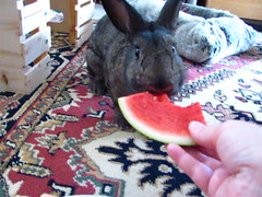 Sherman Vs Watermelon (Anomieus) Tags: rabbit rabbits bunny bunnies leporidae lapin kaninchen coniglio  conejo   coelho cottontail furry animal cute houserabbit cony coney leporid pet paws ears tail   kuni konijn  nyl  krlik iepure  kanin sherman watermelon adorable