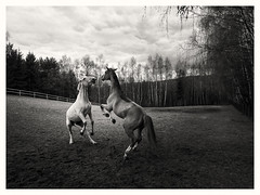 Two Horses (Tomasz Pozorski) Tags: freedom spring composition landscape nature tomaszpozorski power gdask horse poland