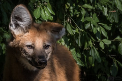 Mhnenwolf (Matthes S.) Tags: hundeartige raubtiere tiere dortmund zoo sugetiere mhnenwolf