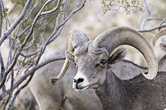 02469232-79-Desert Bighorn Sheep-11 (Jim There's things half in shadow and in light) Tags: 2016 aug bouldercity nevada animal bighornsheep canon5dmarkiii