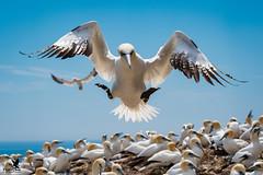 Gonzo Gannet (Osprey-Ian) Tags: gannet quebec bonaventureisland perce