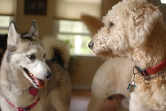 DSC_9852 (ghoulia) Tags: dogs dogvacay rovercom mutts husky goldendoodle