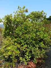 Heteromeles arbutifolia, CHRISTMAS BERRY, TOYON (openspacer) Tags: berry heteromeles rosaceae shrub toyon jrbp jasperridgebiologicalpreserve