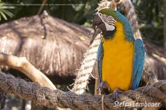 Arara-canind (Stefan Lambauer) Tags: aararacanind araradebarrigaamarela arari araraamarela araraazuleamarela arara canind fozdoigua parquedasaves birds tourism turismo parquenacionaldoigua stefanlambauer 2016 brasil brazil paran br