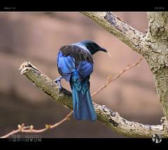 Turn Tail Tui (tomraven) Tags: tui bird newzealand blue tree branches wall tomraven telephoto aravenimage q32016 nikon1 j5
