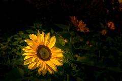 Sonnenblume (Radek Lokos Fotografie) Tags: radeklokosfotografie freiburg sonnenblume flower sunflower bokeh yellow green dark 2470