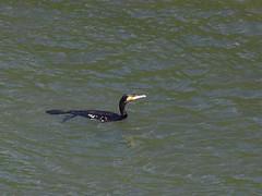 Great cormorant () (Greg Peterson in Japan) Tags: deba ritto rivers wildlife birds yasugawa japan cormorants shiga shigaprefecture jpn