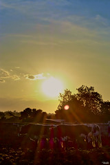 Juntos al atardecer (Blas Torillo) Tags: tlaxcala mxico mexico atardecer sunset puestadesol evening sol sun rayosdesol sunrays contraluz silhouette nubes clouds rboles trees amarillo yellow torosdelidia bulls animales animals sombras shadows naturaleza nature belleza beauty fotografaprofesional professionalphotography fotgrafosmexicanos mexicanphotographers nikon d5200 nikond5200 paisaje landscape