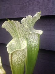 Sarracenia leucophylla, pink flowered form. (Martyn Hird) Tags: carnivorous insectivorous plants alabama citronelle