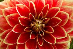 Symmetric (kristin.mockenhaupt) Tags: nature natur wiese meadow frhling sommer summer spring springtime flower blume dahlie dahlia makro macro bloom blte