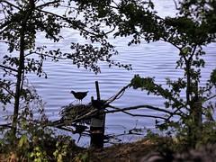 kingsmill Reservoir (kelvin mann) Tags: wildlife water kingsmillres kingsmillreservoir ashfield mansfield nottinghamshire notts outdoors