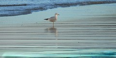Tide (tina negus) Tags: dunstan steads evening beach gull tide northumberland bird naturree light