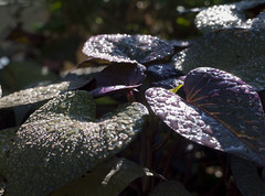 Purple Decadence (Radiogal73s) Tags: morning water dew drops light green purple shadows shade vine perrenial leaves