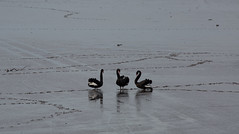 the third swan (keith midson) Tags: swans swan bird birds gathering lowtide tide muddy mud tamar wetlands legana tasmania waterbirds