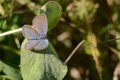 eastern tailed blue butterfly (GreenRavenPhotography.com) Tags: butterfly butterflies easterntailedblue tommythompson lesliestreetspit toronto animals wildlife nature ontario
