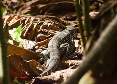 Lobo Pollero (JPizarro) Tags: lagarto lobo santander colombia ro magdalena lizard