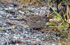 White-crowned Sparrow (juv) (glenbodie) Tags: glen bodie glenbodie dncb dike 201350 whitecrowned sparrow juvenile