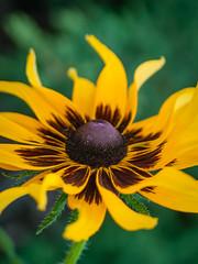 Brown Eyed (bo mackison) Tags: flowers floral wisconsin garden botanical sunflower rudbeckia universityofwisconsin botanicalgardens madisonwisconsin macrophotography allencentennialgardens